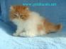 Персийски  котенца от лицензиран развъдник
