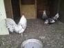 декоративни кокошки