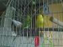 Продавам 3 Вълнисти папагала