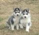 красива сибирското хъски кученца за осиновяване