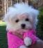 прекрасната малтийски кученца за осиновяване