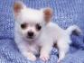 красив чихуахуа кученце да пусне