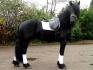 енергични Friesian коне