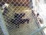 Продава мини декоративни камерунски козички