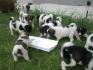 Български овчарски кучета от перфектни родители на супер цена