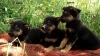 Предлагам малки кученца от породата Австралийско келпи.