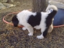 Български овчарски кученца-мъжки