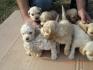Продавам малки сладки кученца порода Кокер Шпаньол