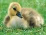 Ферма за ПТИЦИ предлага богато разнообразие на домашни и екзотични птици :: Токачки -- Пъдпъдъци -- Пуйки -- Пауни -- Патици -- Лебеди -- Гъски --...