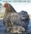 декоративни КОКОШКИ -- Ферма за ПТИЦИ предлага богато разнообразие на домашни и екзотични птици :: мини Зибрайт Бантам -- Италианска качулата...