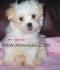БОЛОНКА Плачеща -развъдник WWW.DOGKENNELBG.COM продава кученцас...