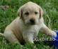 черни и златисти ЛАБРАДОР Ретривър --малки кученца развъдник...
