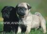 кученца МОПС -развъдник WWW.DOGKENNELBG.COM продава обезпаразитени...