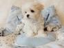 скъпоценен чаена чаша малтийски кученца на разположение