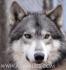 развъдник за ВЪЛК хибрид с куче ЛАЙКА за лов Вълкашини--75% ДИВ ВЪЛК (баща ВЪЛК хибрид с майка полу-ВЪЛК кръстосана с куче ЛАЙКА) --...