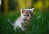 Котенца със сини очи