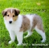 КОЛИ Дългокосместо Шотланско -развъдник WWW.DOGKENNELBG.COM продава...