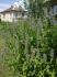 Лофант - семена и билка