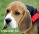 Хариер БИГЪЛ стандартен -за лов (тегло в зряла възраст около 19 кг.) -развъдник за кучета WWW.DOGKENNELBG.COM продава кученца внос от Чехия, от...