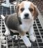 мини БИГЪЛ - ДЕКОРАТИВЕН (мини Бийгъл ЕЛИЗАБЕТ, тегло в зряла възраст 8-13кг., височина около 33см.) -развъдник за кучета WWW.DOGKENNELBG.COM...