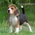 Кери БИГЪЛ за лов -Ирландски кръвоследник Покадан (височина в зряла възраст около 50см., тегло 25 кг.) -развъдник за кучета WWW.DOGKENNELBG.COM...