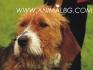 развъдник за БАРАК  (Българско твърдокосместо Гонче) - WWW.DOGKENNELBG.COM продава кученца на 60 дни, с Евро-паспорт, имунизации, ловуващи...
