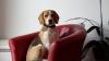 Продавам перфектно, игриво и обичливо куче порода Бигъл.