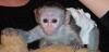 капуцин маймуна бебета за продажба 500€