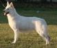 Швейцарските бели овчарски кученца за продажба