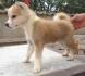Японска АКИТА ИНУ - умнa и вярна порода куче определяна като...