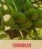 овощен посадъчен материал.фиданки орехи ,orehi,череши,сливи, праскови, кайсии...