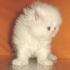 Бяло персийскo котенце.