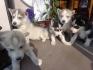 Продавам 5 кученца от порода Сибирско хъски