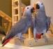 Ръчни хранят африкански сиви папагали