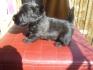 Шотландски териер кученца за продажба