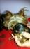 Мини йоркширски териери – 500,00 лв