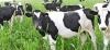 Търся работници за кравеферма