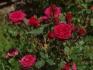Продавам рози