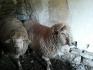 Продават се два коча порода Старопланински цигай