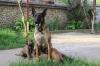 Продавам Белгийска овчарка (Малиноа)
