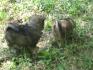 кученца порода каракачанки и шпиц
