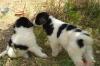 продавам каракачански кучета