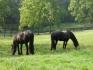 Фризийски прекрасна кобила и жребец на разположение