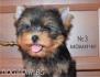 м и н и  ЙОРКШИРСКИ Териер  -малки кученца родени в...