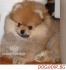 мини ПОМЕРАН оригинален с къси муцунки -малки кученца родени в...