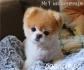 пухено Джудже Американско БО -малки кученца Померан-БО родени в България в...