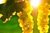 Продавам грозде - винени сортове - Мускат отонел,Каберне совиньон,Памид,Ркацители....