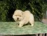 """Чау Чау  Бяло, също Златиста и Черна окраска  --първокласни """"ВИП"""" кученца"""