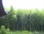 Бамбук семена - Moso Bamboo