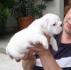 Прекрасни англиски булдог кученца достапни